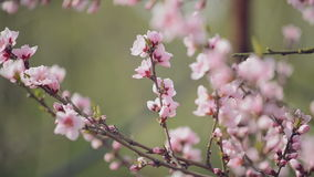 Beautiful Pink Blossoming Peach Flowers on the Garden Tree Branch in The Spring, Selective Focus with Handheld Camera. 1920x1080 full hd footage stock video