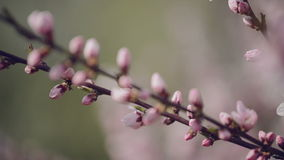 Beautiful Pink Blossoming Peach Flowers on the Garden Tree Branch in The Spring, Selective Focus with Handheld Camera. 1920x1080 full hd footage stock video footage