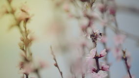 Beautiful Pink Blossoming Peach Flowers on the Garden Tree Branch in The Spring, Selective Focus with Handheld Camera stock video