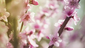 Beautiful Pink Blossoming Peach Flowers on the Garden Tree Branch in The Spring, Selective Focus with Handheld Camera. 1920x1080 full hd footage stock footage