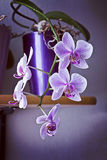 Beautiful pink blossoms of orchid pending from a vase Royalty Free Stock Image