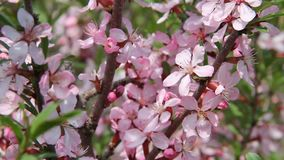 Beautiful pink blossoms in a spring garden, shaking on the wind, close up. Bees are flying around. Beautiful pink blossoms in a spring garden, shaking on the stock video footage