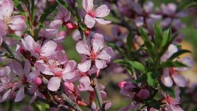 A honey bee fly among the pink blossoms of a barberry in an orchard, pollinating the flowers as it seeks for honey. Beautiful pink blossoms in a spring garden stock video