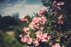 Beautiful pink blossons on tree. True tilt shift shooting of spring flowers on tree with narrow leaves, multiple pink blossoms on shrub, shallow depth of field stock photos
