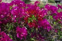Beautiful pink bougainvillaea tropical flower Royalty Free Stock Photos