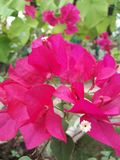 Beautiful pink bougainvillea flowers stock photo