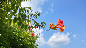 Beautiful pink Bougainvillea Glabra blossoming in the spring with the blue sky in Brazil. Show of nature revealing the. Renewal and joy of spring and summer Royalty Free Stock Photo