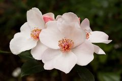 Pink rose flowers on a branch. Beautiful pink buds blossoming dog rose on a branch stock photo