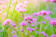 Beautiful pink  bunch flowers on green grass background . Royalty Free Stock Photography