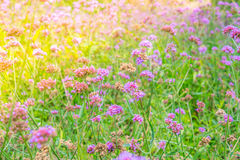 Beautiful pink  bunch flowers on green grass background . Royalty Free Stock Images