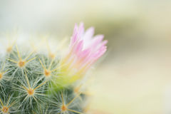 Beautiful pink cactus blooming as background.  stock photos