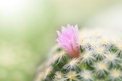 Beautiful pink cactus flower blooming in garden Stock Image