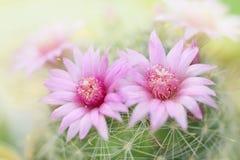 Beautiful pink cactus flower blooming in garden Stock Photos