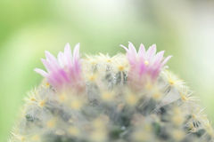 Beautiful pink cactus flower blooming in garden Royalty Free Stock Images