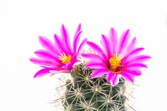 Free Beautiful Pink Cactus Flower Isolated  With White Background Royalty Free Stock Photos - 161382878