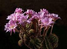 Beautiful pink cactus flowers Stock Photos