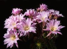 Beautiful pink cactus flowers Royalty Free Stock Image