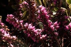 Pink flower calluna vulgaris. Beautiful pink calluna vulgaris flower Royalty Free Stock Image