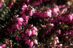 Pink flower calluna vulgaris. Beautiful pink calluna vulgaris flower Stock Photos