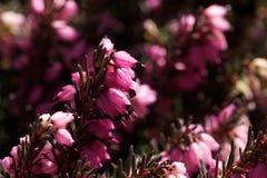 Pink flower calluna vulgaris. Beautiful pink calluna vulgaris flower Stock Image