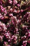 Pink flower calluna vulgaris. Beautiful pink calluna vulgaris flower Stock Photo