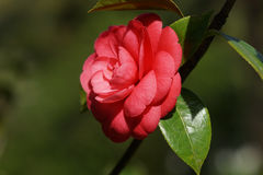 Beautiful pink Camellia flower with green lacquer leaves on blurred background. Beautiful pink Camellia flower with green lacquer leaves Royalty Free Stock Photography
