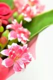 Beautiful pink carnation. Royalty Free Stock Photo