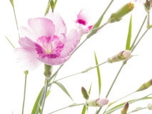 Beautiful pink carnation flower Royalty Free Stock Photography
