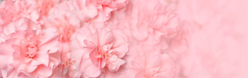 Beautiful Pink Carnation Flower Header. A beautiful pink carnation background web header. Add your text to the copyspace. Use the photo for a spring, marriage or Royalty Free Stock Images
