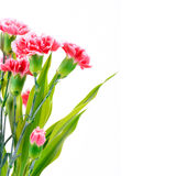 Beautiful pink Carnation flowers, border design with copy space Stock Photos