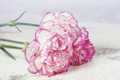 Beautiful pink carnation flowers on a white wooden background Royalty Free Stock Photos