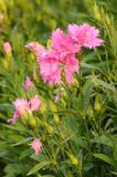 Beautiful pink carnation in the garden. Stock Photo