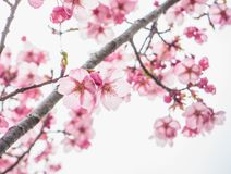 Beautiful pink cheery blossoms. Close up beautiful pink cheery blossoms are blooming in spring time,Japan. Japanese and tourists like to see flower.nn Stock Photos