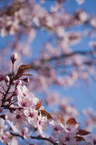 Beautiful pink cherry bloom. Royalty Free Stock Images
