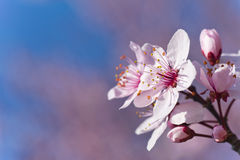 Beautiful pink cherry bloom. Royalty Free Stock Photos