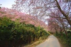 Beautiful pink cherry blossom Stock Photo