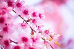 Beautiful pink cherry blossom Royalty Free Stock Photos