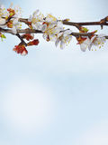 Beautiful pink cherry blossom on a blue background. Royalty Free Stock Images