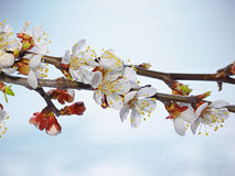 Beautiful pink cherry blossom on a blue background. Royalty Free Stock Photo