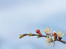 Beautiful pink cherry blossom on a blue background. Royalty Free Stock Photography