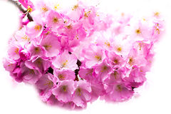 Beautiful pink cherry blossom branch, Sakura flowers on white Stock Photos