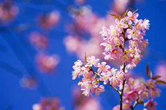 Beautiful pink cherry blossom Royalty Free Stock Image