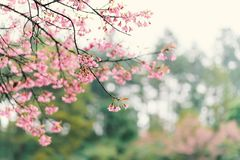 Beautiful pink cherry blossom flower in Thailand. Beautiful pink cherry blossom flower in winter season, Chiangmai, Thailand Royalty Free Stock Photo