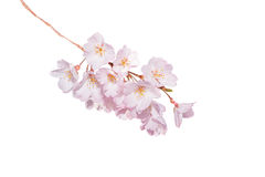 Beautiful pink cherry blossom isolated on white. Stock Images