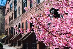 Free Beautiful Pink Cherry Blossom Next To A Row Of Old Brownstone Homes In Morningside Heights New York During Spring Stock Image - 181337891