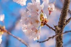 Beautiful pink cherry blossom or sakura blooming in the garden. Beautiful pink cherry blossom or sakura blooming stock photo