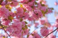 Beautiful pink cherry blossom or sakura blooming in the garden. Beautiful pink cherry blossom or sakura blooming in garden royalty free stock photo