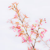 Beautiful pink cherry blossom (Sakura) flower at full bloom. Royalty Free Stock Photos