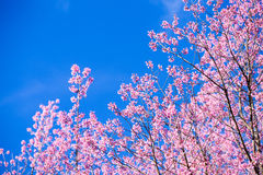 Beautiful pink cherry blossom (Sakura) flower at full bloom on b Stock Image