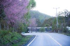 Beautiful pink cherry blossom (Sakura) flower at full bloom on b Royalty Free Stock Photo